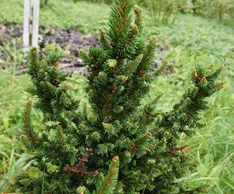 Harilik kuusk ´Valentins´ -(Picea abies) - Tellimisel