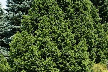 Harilik kuusk ´Will´s Zwerg´ (Picea abies)
