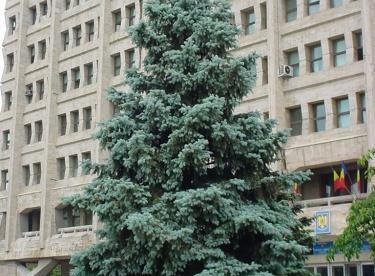 Hõbekuusk ´Argentea´ (Picea pungens)