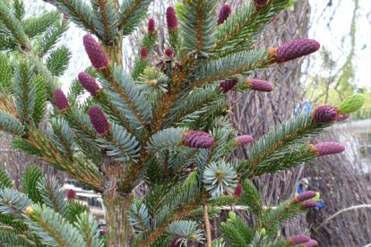 Kahevärviline kuusk (Picea bicolor)