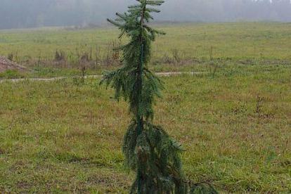 Serbia kuusk ´Fasseii´ (Picea omorica)