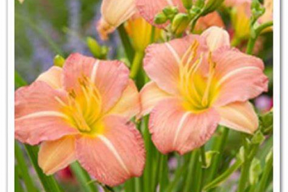 Päevaliilia ´EveryDaylily Pink Cream´ (Hemerocallis)