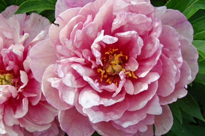 itoh pojeng ´Pink Double Dandy´ (Paeonia)
