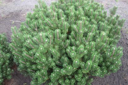 Mägimänd ´Humpy´ (Pinus mugo)