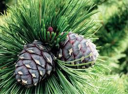 Alpi seedermänd (Pinus cembra)