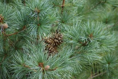 Korea seedermänd (Pinus koraiensis) -Tellimisel