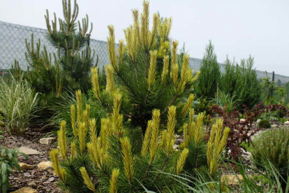 Mägimänd ´Frühling´s Gold´ (Pinus mugo) - tellimisel