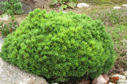 mägimänd  ´Mops´ (Pinus mugo) tellimisel