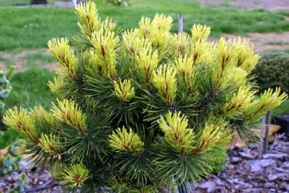 PInus mugo ´Rositech´ (Pinus mugo) - Tellimisel