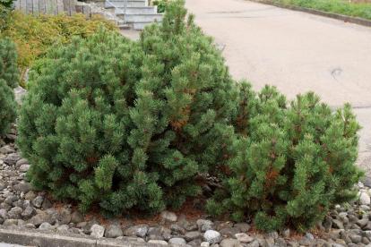 Kääbus-mägimänd (Pinus mugo var.pumilio)