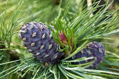 Siberi seedermänd (Pinus sibirica)