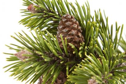 Harilik mänd (Pinus sylvestris) 1 -1.3 m kõrge