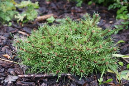 Harilik mänd ´Dooney Valley´ (Pinus sylvestris)