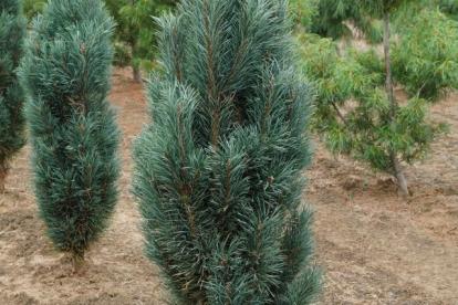 Harilik mänd ´Fastigiata´ (Pinus sylvestris) -Tellimisel