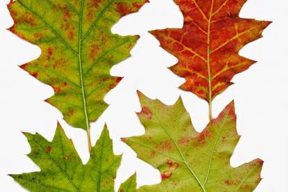 Punane ehk Põhja tamm (Quercus rubra)