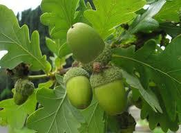 Harilik tamm (Quercus robur)