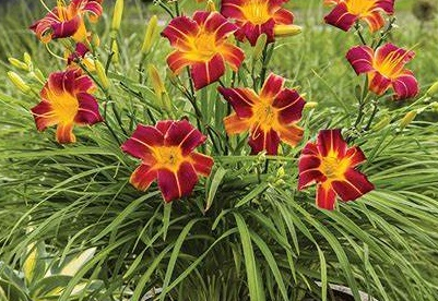 Päevaliila ´Red Ribs´ (Hemerocallis)