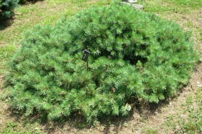 Harilik mänd ´Repens´ (Pinus sylvestris)