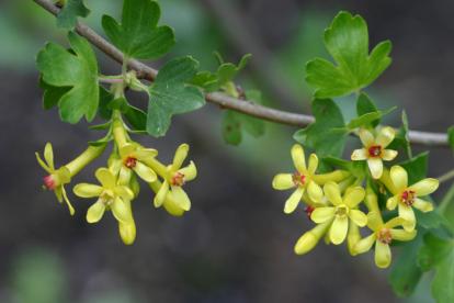 Kuldsõstar ´Robi´ (Ribes aureum)