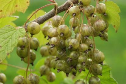Rohelise viljaga must sõstar ´Vertti´ (Ribes nigrum)