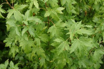 Must sõstar ´Lacinata´ (Ribes nigrum) - lõhisleheline
