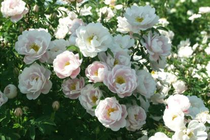 Näärmeline kibuvits ´Juhannusmorsian´ (Rosa pimpinellifolia)