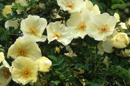 Kibuvits ´Ormison Roy´ (Rosa pimpinellifolia)