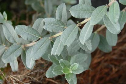 Sinihall paju ´Haltia´ (Salix glauca var.callicarpaea)