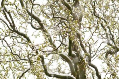 Paju ´Ural 2´ (Salix) - Kasvab puuna