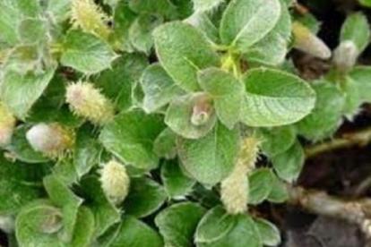 Paju (Salix yesoalpina)