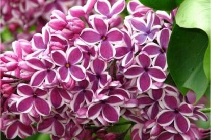 Harilik sitrel ´Sensatsion´ (Syringa vulgaris)