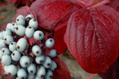 Siberi kontpuu ´Siberian Pearls´ (Cornus sibirica)