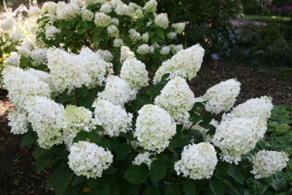 Aedhortensia ´Silver Dollar´ (Hydrangea paniculata)