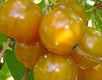 Kuldsõstar ´Solnishko´ (Ribes aureum) - kollaseviljaline