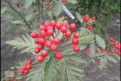 Pihlakas (Sorbus Ammonensis) - Tellimisel