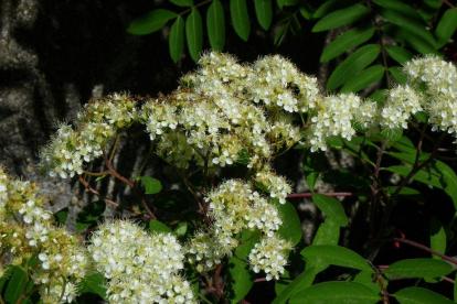 Ameerika pihlakas (Sorbus americana) - Tellimisel