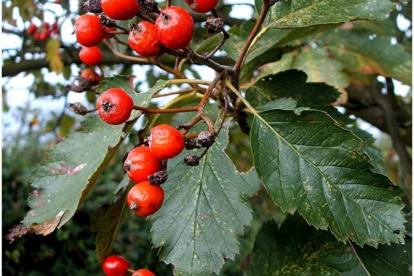 Pooppuu (Sorbus intermedia) - poogitud hariliku pihlaka peale