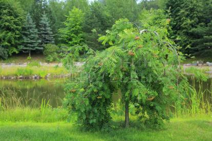 Leinapihlakas ´Pendula´ (Sorbus aucupraria) - Ei saada kulleriga-Tellimisel