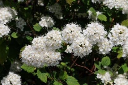 Taraenelas (Spiraea chamaedryfolia) paljasjuurne