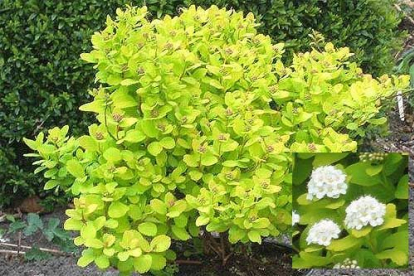 Kaseleheline enelas ´Tor Gold´ (Spiraea betulifolia)
