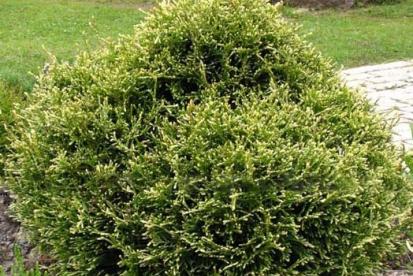 Harilik elupuu ´Stolwijk´ (Thuja occidentalis)