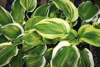 Hosta ´Sugar and Spice´ (Hosta)