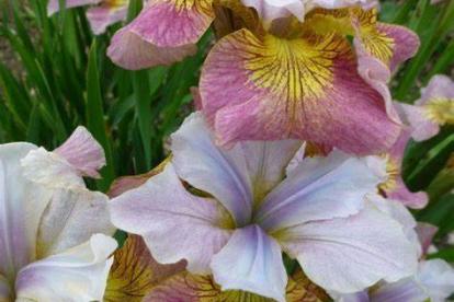 Siberi võhumõõk ´Sugar Rush´ (Iris sibirica)