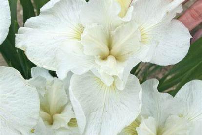 Siberi võhumõõk ´Swans in Flight´ (Iris sibirica)