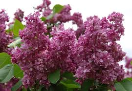 Sirel ´Bogdans Hmeļņickis´ (Syringa vulgaris) - tellimisel