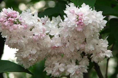 Sirel ´Krasavitsa Moskvy´ (Syringa vulgaris)