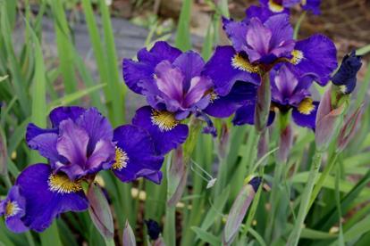 Siberi võhumõõk ´Tamberg´ (Iris  sibirica)