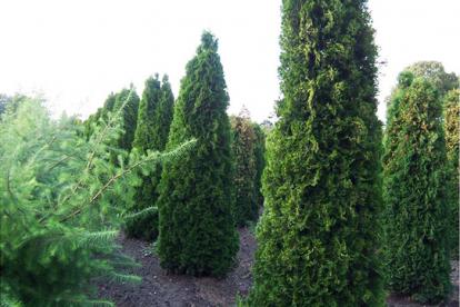 Harilik elupuu ´Columna´ (Thuja occidentalis)
