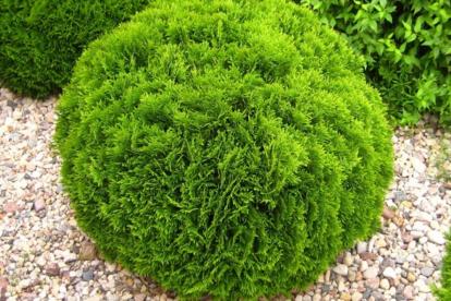 Harilik elupuu ´Danica´ (Thuja occidentalis)