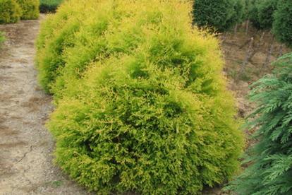 Harilik elupuu ´Rheingold´ (Thuja occidentalis)